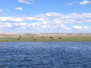 Mule Deer bucks at the Hanford site